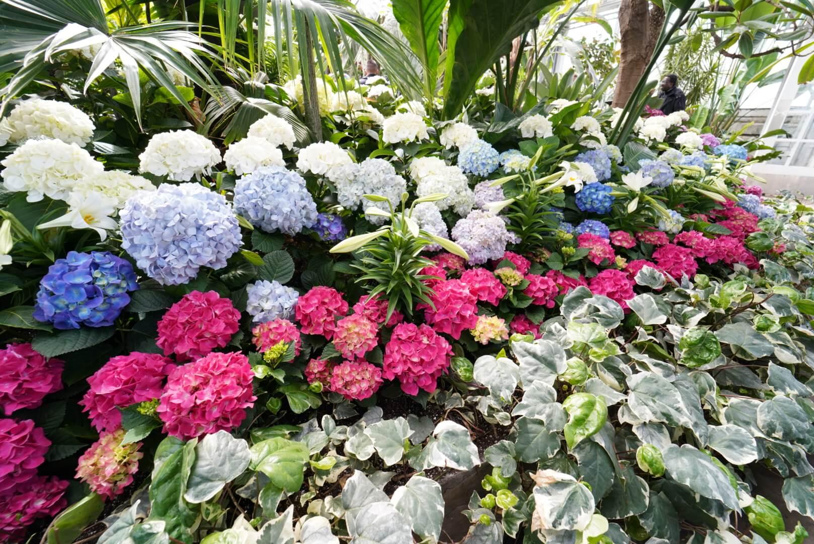 Allan Gardenの紫陽花
